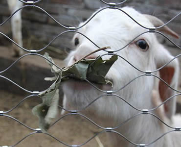 :A goat is behind a piece of stainless steel ferrule rope mesh.