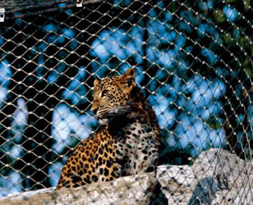 A leopard is on a stone which is surrounded by stainless steel ferrule rope mesh.