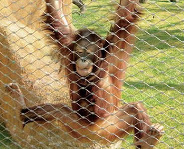A monkey is climbing on the stainless steel ferrule rope mesh.