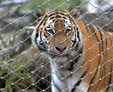 :A tiger is behind a piece of stainless steel ferrule rope mesh.