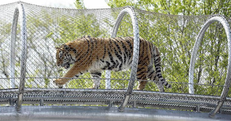 A tiger is in a cylindrical frame which is made of stainless steel knotted rope mesh and in the high position of zoo.