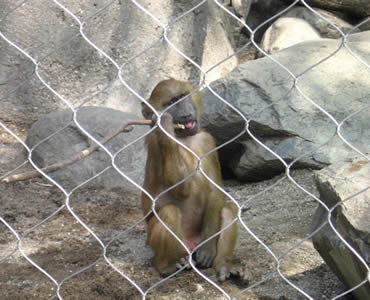 A monkey is behind a piece of stainless steel knotted rope mesh with a stick in its mouth.