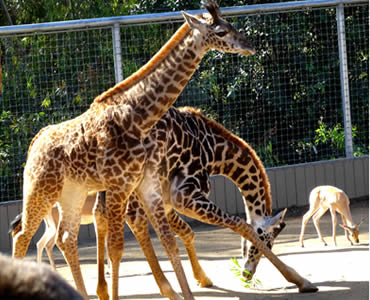 Several giraffes are in the place restricted by stainless steel rope mesh.