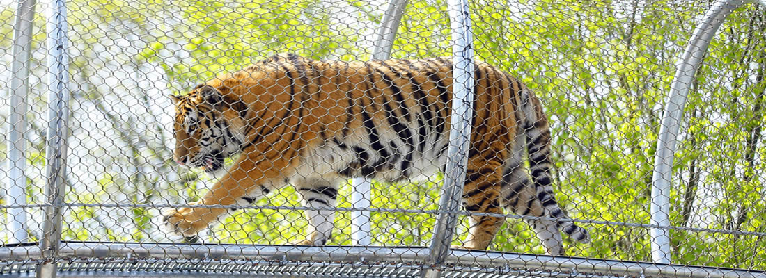 A tiger is in a frame that is made of stainless steel ferrule rope mesh.